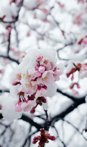 cherryblossom-in-snow